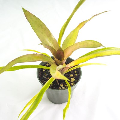 morningwood_growers_neoregelia_donna_top