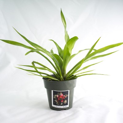 morningwood_growers_neoregelia_medusae
