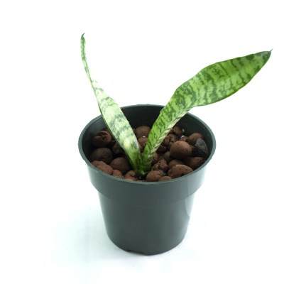 morningwood_growers_sansevieria_trifasciata
