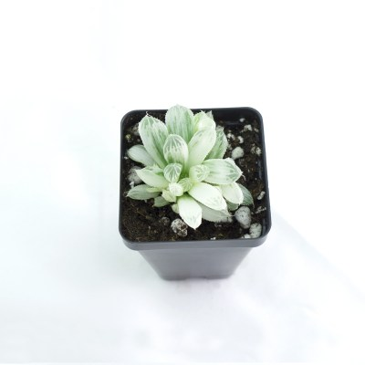 morningwood_growers_succulent_haworthia_cymbiformis