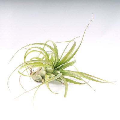 morningwood_growers_tillandsia_Tillandsia_streptophylla_brachycaulous_eric_knobloch