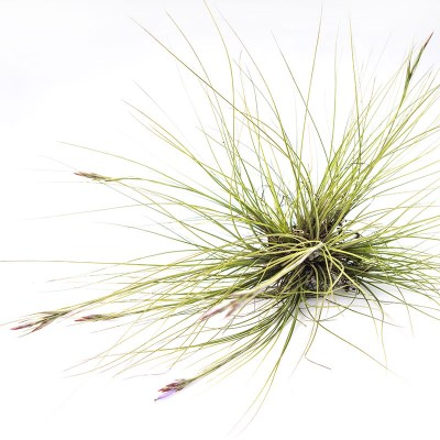 morningwood_growers_tillandsia_airplant_setacea_southern_needle_leaf_2