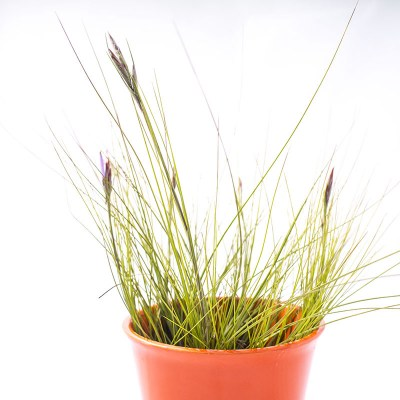 morningwood_growers_tillandsia_airplant_setacea_southern_needle_leaf_3
