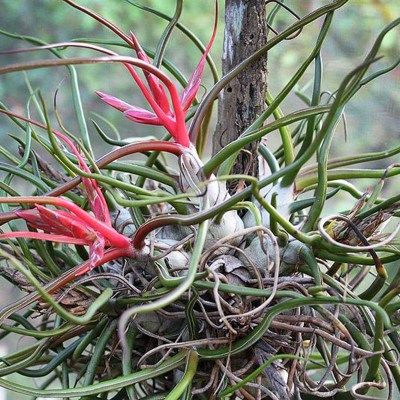morningwood_growers_tillandsia_bulbosa_belize_bocabrom_clump