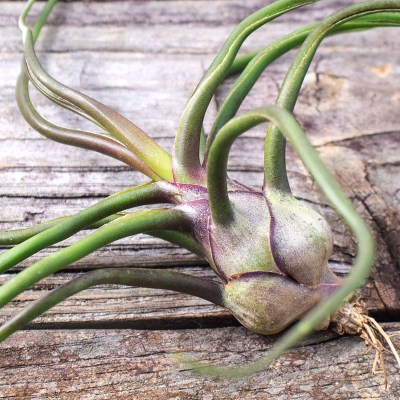morningwood_growers_tillandsia_bulbosa_belize_large_detail