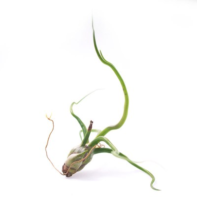 morningwood_growers_tillandsia_bulbosa_large9