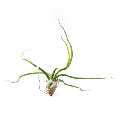 morningwood_growers_tillandsia_bulbosa_large_2