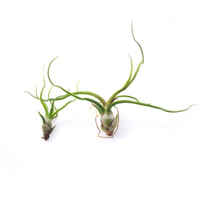 morningwood_growers_tillandsia_bulbosa_large_small