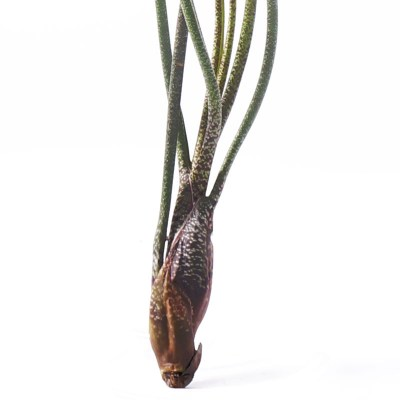 morningwood_growers_tillandsia_butzi_detail
