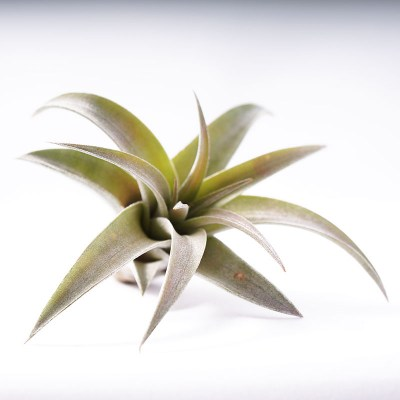 morningwood_growers_tillandsia_capitata_peach6