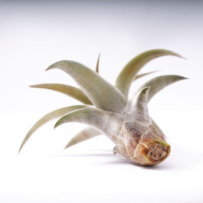 morningwood_growers_tillandsia_capitata_peach_bottom1