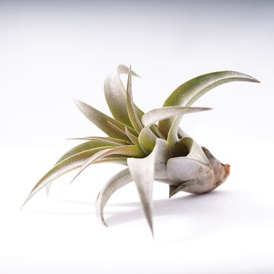 morningwood_growers_tillandsia_capitata_peach_side_25