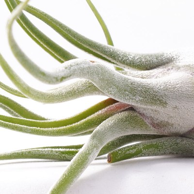 morningwood_growers_tillandsia_caput_madusae_detail