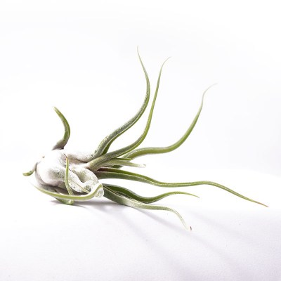 morningwood_growers_tillandsia_caput_madusae_side