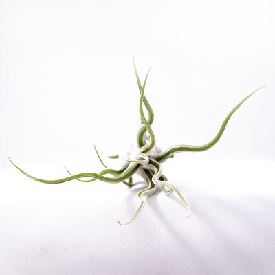 morningwood_growers_tillandsia_caput_madusae_top