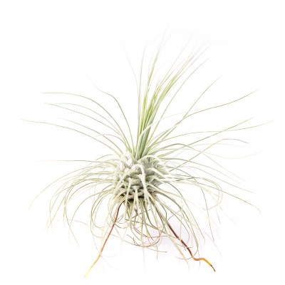 morningwood_growers_tillandsia_fuchsii_medium_2