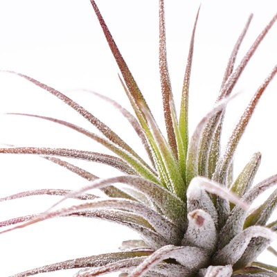 morningwood_growers_tillandsia_ionantha_fuego_detail5