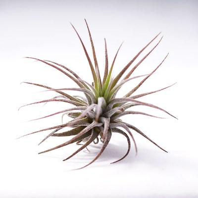 morningwood_growers_tillandsia_ionantha_fuego_side25