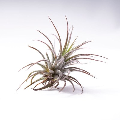 morningwood_growers_tillandsia_ionantha_fuego_side9