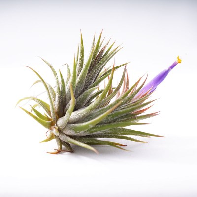 morningwood_growers_tillandsia_ionantha_mexicana