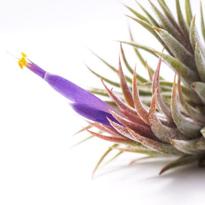 morningwood_growers_tillandsia_ionantha_mexicana_bloom_detail