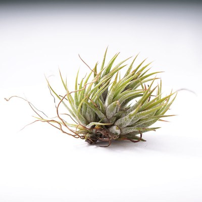 morningwood_growers_tillandsia_ionantha_mexicana_no_bloom2