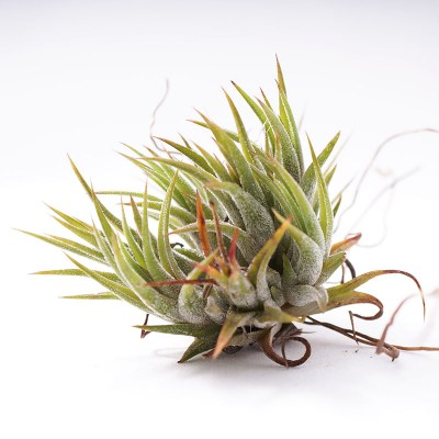 morningwood_growers_tillandsia_ionantha_mexicana_no_bloom3