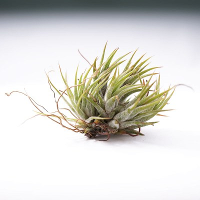 morningwood_growers_tillandsia_ionantha_mexicana_no_bloom