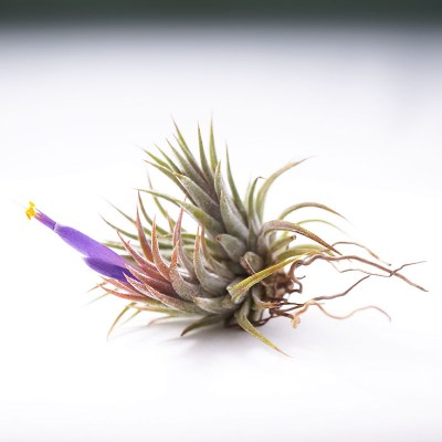 morningwood_growers_tillandsia_ionantha_mexicana_side