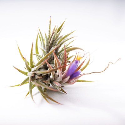 morningwood_growers_tillandsia_ionantha_mexicana_top