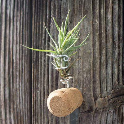 morningwood_growers_tillandsia_mag_champ_cork_ID_side
