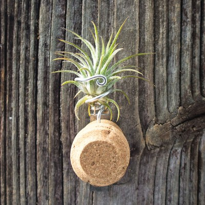 morningwood_growers_tillandsia_mag_champ_cork_fuego_a1