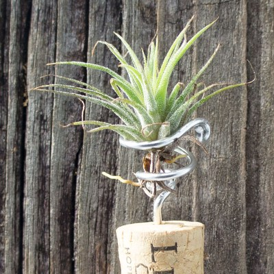 morningwood_growers_tillandsia_mag_cork_cattail_fuego_detail