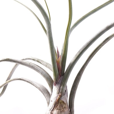 morningwood_growers_tillandsia_pseudobaileyi_large_detail