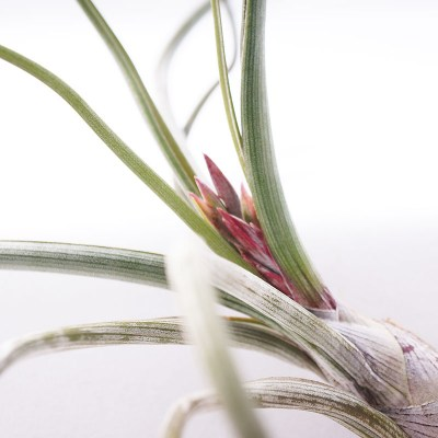 morningwood_growers_tillandsia_pseudobaileyi_large_emerging_bloom_spike_2