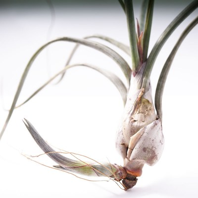 morningwood_growers_tillandsia_pseudobaileyi_large_pup