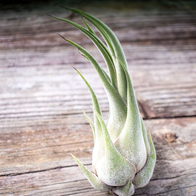 morningwood_growers_tillandsia_seleriana_large