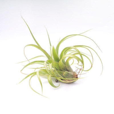 morningwood_growers_tillandsia_streptophylla_brachycaulous_eric_knobloch_side
