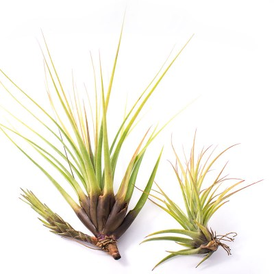 morningwood_growers_tillandsia_tricolor_melanocreter_size_chart