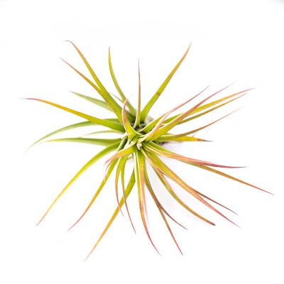 morningwood_growers_tillandsia_tricolor_melanocreter_small_top