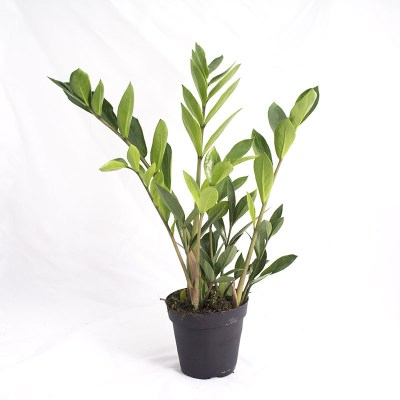morningwood_growers_zamioculcas_zamiifolia_zamicro_dwarf_zz