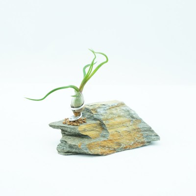 morningwoodgrowers_smbulbosa_slate_desktop